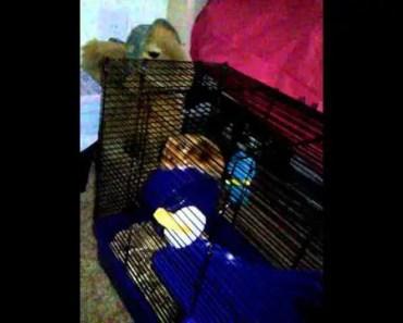 My pet Syrian hamster - my pet syrian hamster