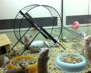 Palestra per Criceti Dorati (video divertenti) Syrian Hamsters - palestra per criceti dorati video divertenti syrian hamsters