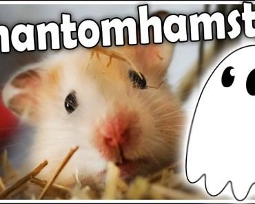 Phantomhamster | Warum ist mein Hamster ein Phantom? | Was kann ich dagegen tun? | Aufklärung - phantomhamster warum ist mein hamster ein phantom was kann ich dagegen tun aufklarung