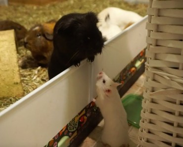 Syrian Hamster Makes A New Friend... (she escaped) - syrian hamster makes a new friend she escaped