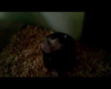 The funniest hamster in the word !!! HD (aslo cute) - the funniest hamster in the word hd aslo cute