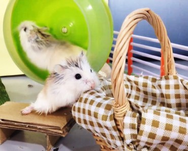 Tiny Hamsters Playing in New Playground - Wheel, Swing & House - tiny hamsters playing in new playground wheel swing house
