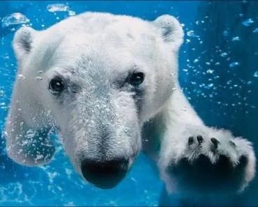Top Funny Polar Bear Videos Compilation 2017 [BEST OF] - Cute Animals - top funny polar bear videos compilation 2017 best of cute animals