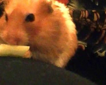 A cute squeaking hamster - a cute squeaking hamster