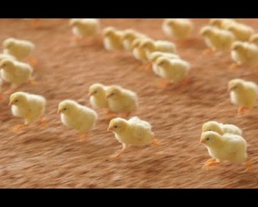 Baby Chick ARMY - Cutest Animal Videos Compilation 2018 [BEST OF] - baby chick army cutest animal videos compilation 2018 best of