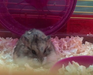 Being weird with guava the hamster - being weird with guava the hamster
