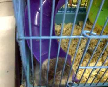 Cute hamster with a weird behavior! - cute hamster with a weird behavior