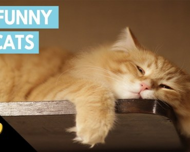 Fat cats - A funny cat with dinner !! Funny cats 2018 - Cats lyly - fat cats a funny cat with dinner funny cats 2018 cats lyly