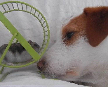 Hamster and Jack Russell Terrier - hamster and jack russell terrier