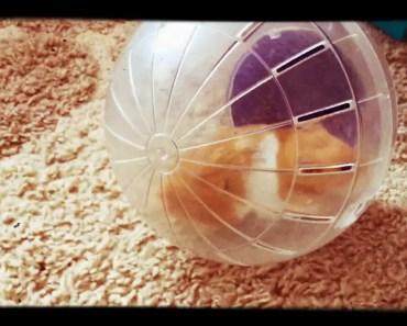 Hamster ball/ animals & funny - hamster ball animals funny
