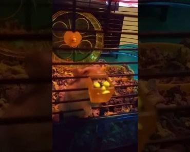 Hamster goes crazy on trash pack - hamster goes crazy on trash pack