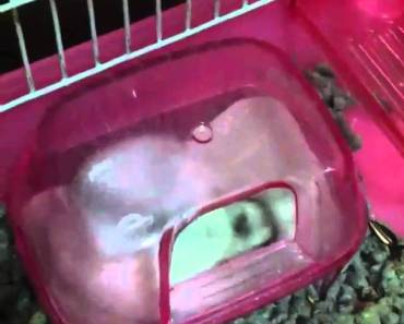 How my hamster rolling in sand bath - how my hamster rolling in sand bath