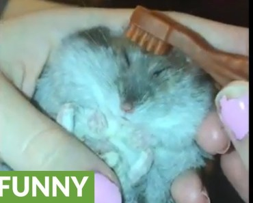 Tiny hamster gets hair combed by tiny toothbrush - tiny hamster gets hair combed by tiny toothbrush