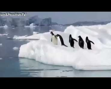Top Funny Penguin Videos Compilation 2017 [BEST OF] - Cute Animals - top funny penguin videos compilation 2017 best of cute animals