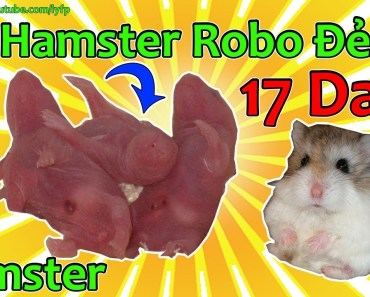 Bầy Hamster Robo Đẻ - Hamster Robo Giving Birth - 17 Day - bay hamster robo de hamster robo giving birth 17 day