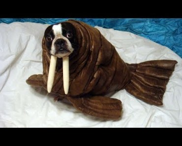 Best Funny and Cute Halloween Costumes for Dog - Funny Dogs Videos Compilation - best funny and cute halloween costumes for dog funny dogs videos compilation