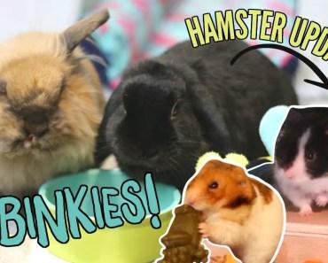 CRAZY BUNNIES + Hamster updates! - crazy bunnies hamster updates