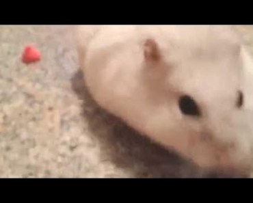 Cute Hamster Doing Funny Things   Funny Hamster Compilation # 18 - cute hamster doing funny things funny hamster compilation 18