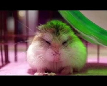 Cute Hamster Doing Funny Things | Funny Hamster Compilation # 2 - cute hamster doing funny things funny hamster compilation 2