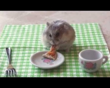 Cute Hamster Doing Funny Things | Funny Hamster Compilation # 20 - cute hamster doing funny things funny hamster compilation 20