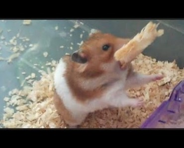 Cute Hamster Doing Funny Things | Funny Hamster Compilation # 46 - cute hamster doing funny things funny hamster compilation 46