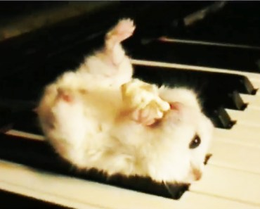 Cute Things Exploding - Hamster on a Piano EXPLODING!!! - cute things exploding hamster on a piano