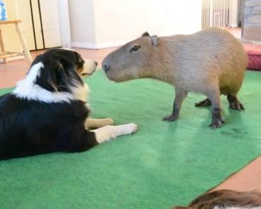 Dog and Capybara - dog and capybara