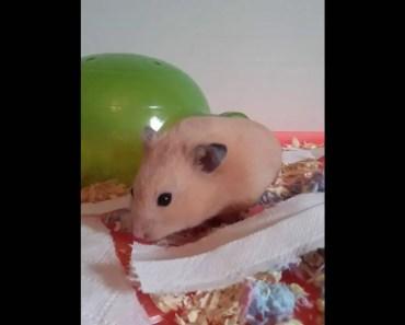 Funny Hamster Boo #1 - funny hamster boo 1