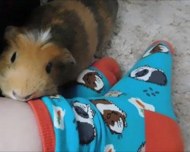 GUINEA PIG REACTS TO GUINEA PIG SOCKS! TOO FUNNY! - guinea pig reacts to guinea pig socks too funny
