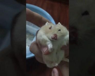 Hamster after a fight - hamster after a fight