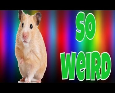 Hamster does something really weird that you might not want to watch - hamster does something really weird that you might not want to watch