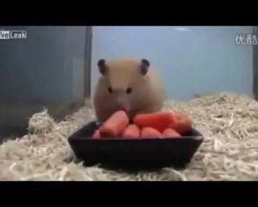Hamster eats carrots in seconds - hamster eats carrots in seconds