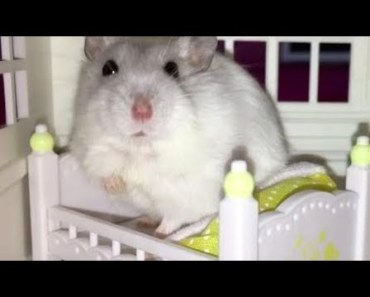 Hamster | Hamster Cage Tour | Cute Hamster Doing Funny Things Part 21 - hamster hamster cage tour cute hamster doing funny things part 21