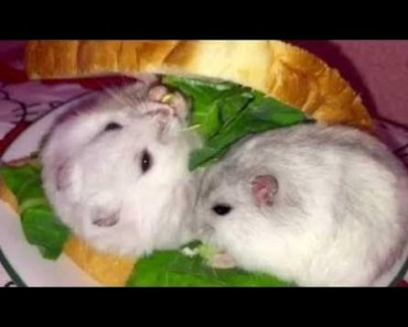 Hamster | Hamster Cage Tour | Cute Hamster Doing Funny Things Part 37 - hamster hamster cage tour cute hamster doing funny things part 37