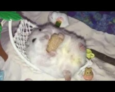 Hamster | Hamster Cage Tour | Cute Hamster Doing Funny Things Part 38 - hamster hamster cage tour cute hamster doing funny things part 38