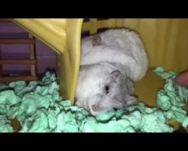 Hamster | Hamster Cage Tour | Cute Hamster Doing Funny Things Part 43 - hamster hamster cage tour cute hamster doing funny things part 43