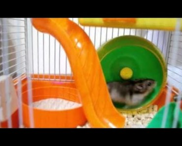 Hamster | Hamster Cage Tour | Cute Hamster Doing Funny Things Part 7 - hamster hamster cage tour cute hamster doing funny things part 7