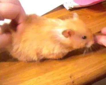 Hamster in heat - hamster in heat