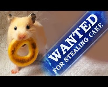 Hamster Steals a Cake - Prison Break funny video - hamster steals a cake prison break funny video
