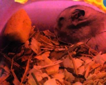Hamster strange noises! Is he sick? What is happening? - hamster strange noises is he sick what is happening