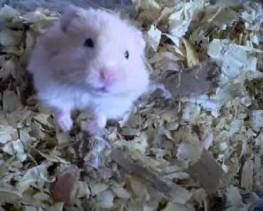 Hamster Trying to Attack - hamster trying to attack