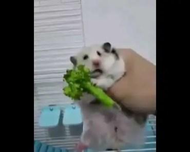 Hungry Hamster Eating Broccoli very Funny - hungry hamster eating broccoli very funny