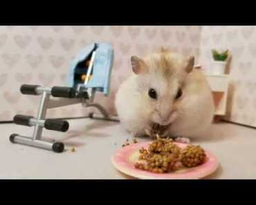 Lazy Hamster Chooses Snack over Exercising [CUTE HAMSTER VID] - lazy hamster chooses snack over exercising cute hamster vid