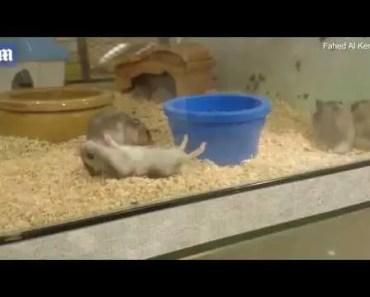 Moment adorable hamster recreates a dramatic death scene - moment adorable hamster recreates a dramatic death scene