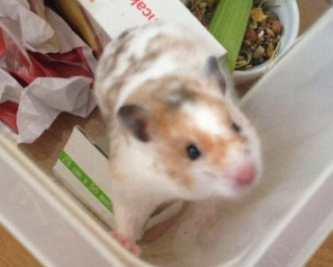 Our New Pet: Hamster Totoro - our new pet hamster totoro
