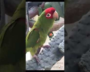 Parrot Singing And Dancing On Song Of DameToCosita l Funny Musically Video Must Watch - parrot singing and dancing on song of dametocosita l funny musically video must watch