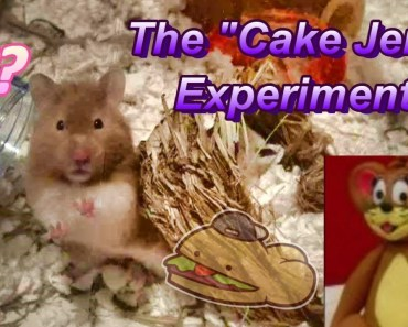 """Scientific Experiment: Do Hamsters Enjoy """"Cake Jerry?"""" - scientific experiment do hamsters enjoy cake jerry"""