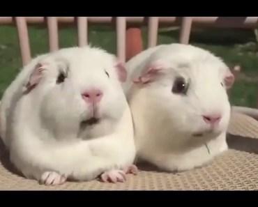 Sweet Funny Hamster Compilation - sweet funny hamster compilation