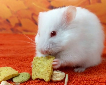 Syrian Hamster Chewing Sounds | Hamster Crunching on a Treat | ASMR - syrian hamster chewing sounds hamster crunching on a treat asmr