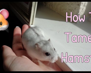 The Right Way to Tame a Hamster! - the right way to tame a hamster